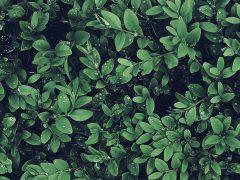 Buchsbaum künstlich
